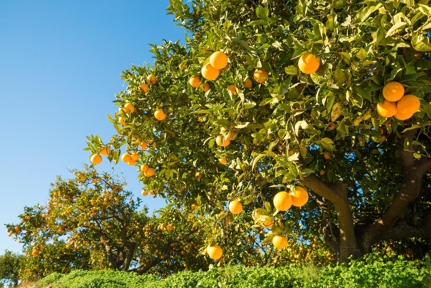 Die Orangenernte wird gut (Titelbild)