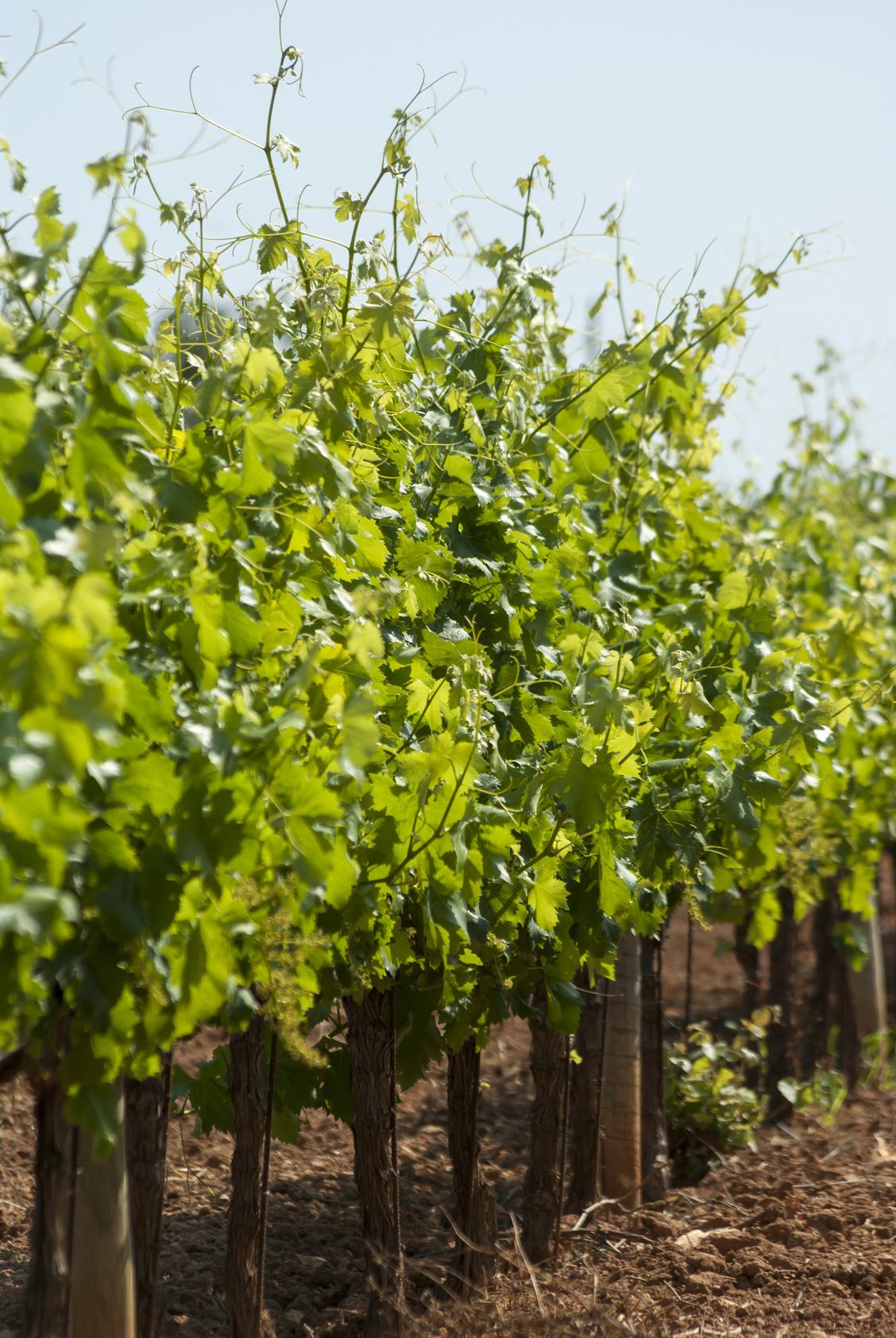 Diese Weingüter prägen Mallorca (Titelbild)